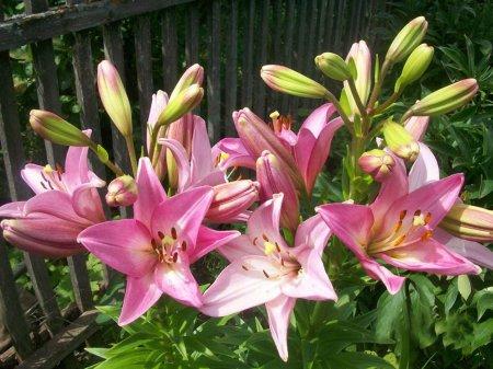 Лилии в открытом грунте