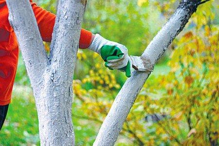 Для чего белить стволы деревьев на даче?