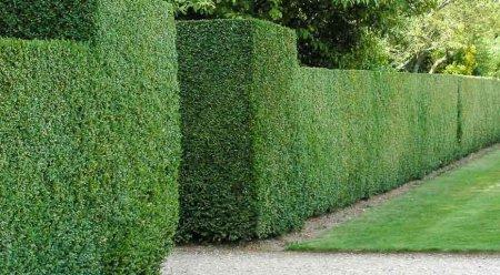 Зеленые живые изгороди